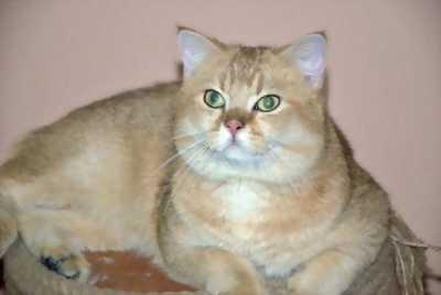 Bán mèo ALN 2 tháng