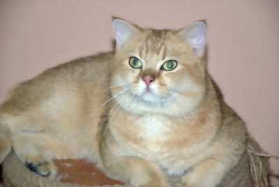 Bán mèo ALN cực xinh giá yêu