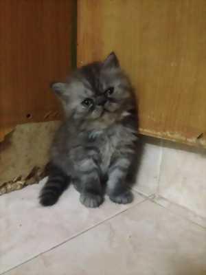 Mèo anh lông dài màu trắng