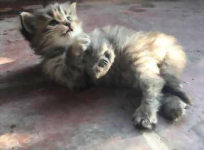 Mèo Anh Lông Dài Màu Socola - Xám