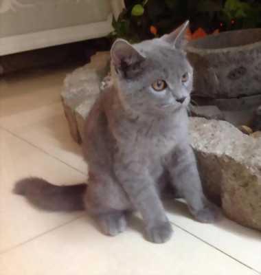Mèo anh lông ngắn cái lai mèo nga