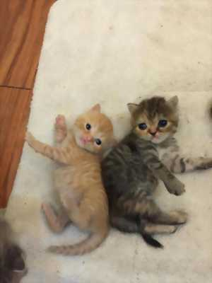 Nhà mình bán đàn con anh lông dài lai mèo ta