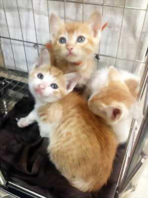 Tìm chủ mới cho bé mèo con lai mèo Nga