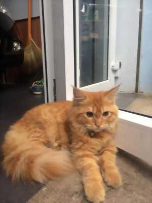 Mèo anh lông dài 1 tuổi