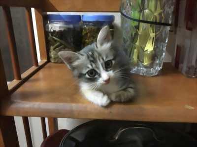 Bán mèo con