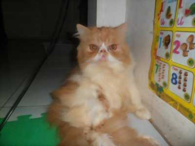 Mèo ba tư