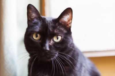 Mèo lai nga và mèo đen mun