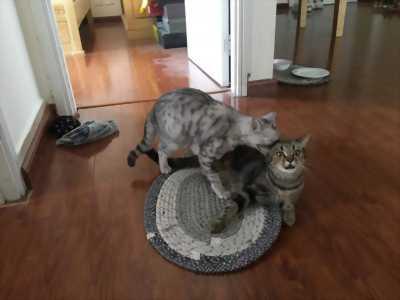 Mèo Anh Lông Ngắn và Mèo Scottish
