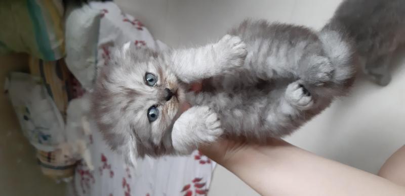 Mèo Ald tai cụp mập ú cực yêu