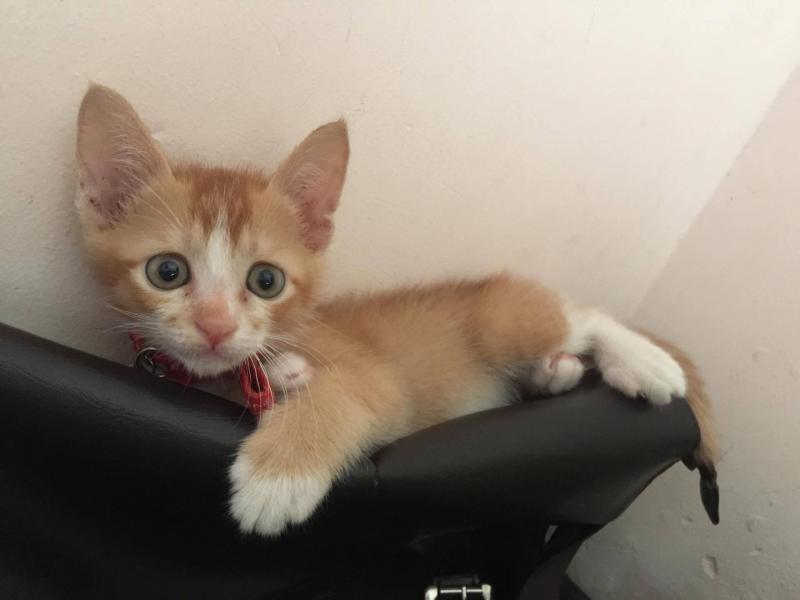 Mèo Anh Lông Dài Lai
