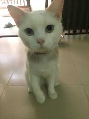 Bé Mèo Anh Lông Ngắn Đực màu trắng