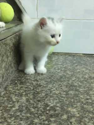 Bán 2 Bé Mèo Anh LD mắt 2 màu Xanh và Nâu