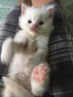 3 Bé Mèo Anh LD màu Trắng 1,9 tr/Bé  rẻ nhất HCM