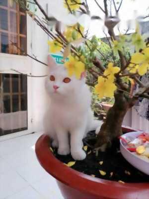 mèo Anh Lông Dài chín tháng tuổi