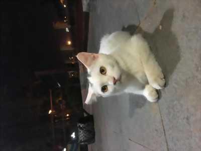 Mèo anh lông dài 5 tháng tuổi