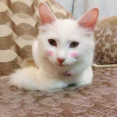 Mèo Anh lông dài 8 tháng tuổi