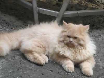 Hai bé mèo xù xinh (Mẹ 34-bố ALD)