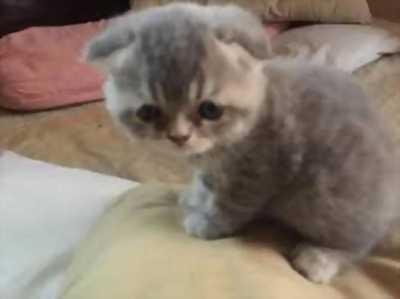 Bán bé Mèo highlands fold ( tai cụp )
