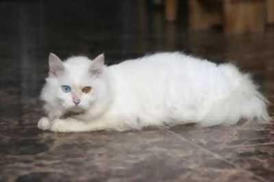Bé mèo OMO trắng sáng lông xù đực