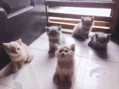 Cần bán đàn mèo con tai cụp cho bạn nào yêu mèo