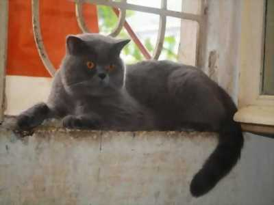 Bán mèo Anh giống cái hơn 3 tháng tuổi