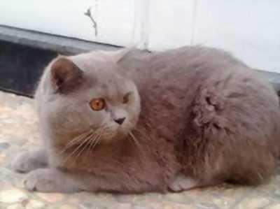 Bán bé mèo Anh lông dài, vàng tabby, chân đi tất trắng, đẹp trai lai láng