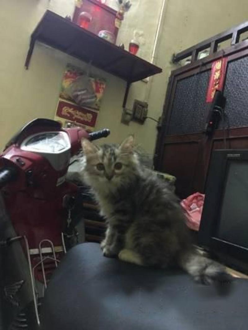 Bán mèo anh lông dài tam thể