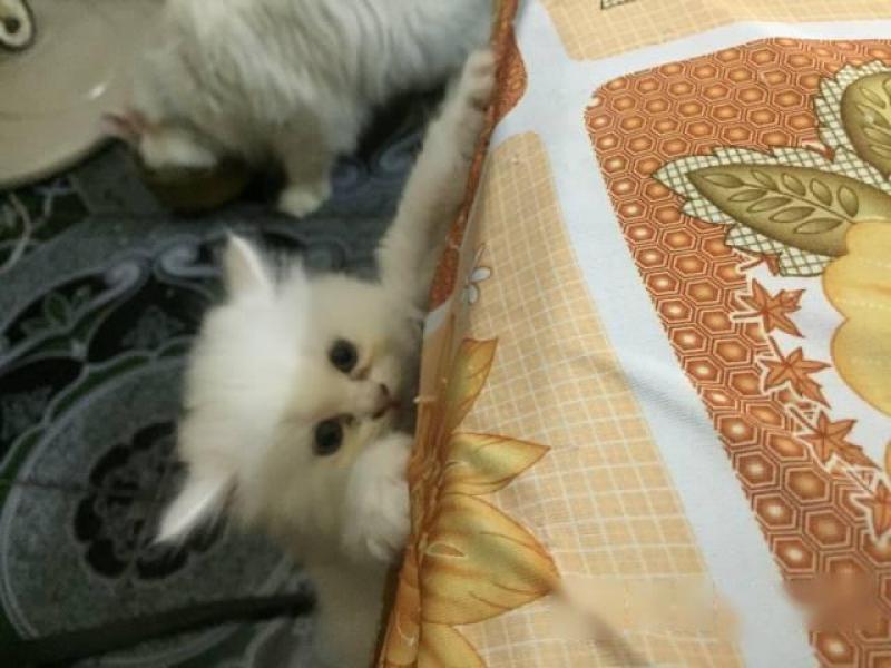 bán mèo con ald *34