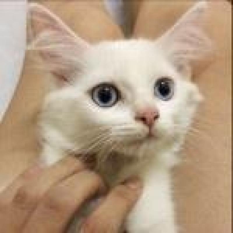 bán mèo ald x 34 x nga