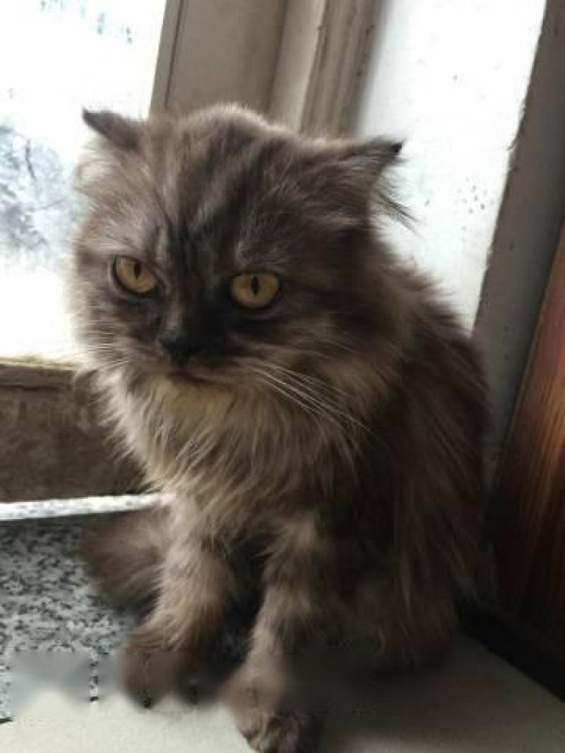 bán nhanh mèo tai cụp và ald