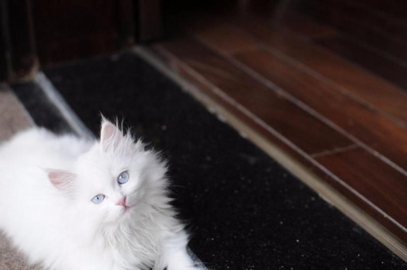 bán mèo ald lai ba tư