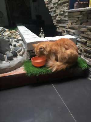 Nhượng bé mèo ALD,  giống cái được một tuổi,  bé rất . . .