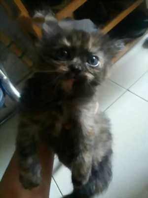 Mèo Anh lông dài & trắng mắt xanh