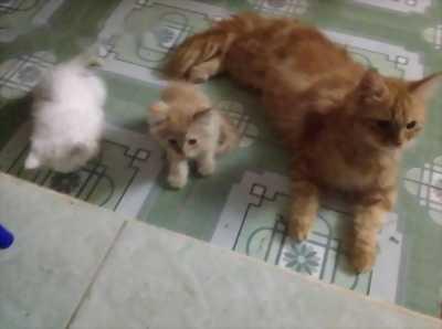 cặp vo chong mèo ALD trưởng thành, dang gào đực