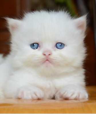 Mèo Ald baby