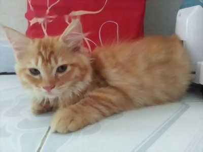 Bé mèo ALD 1 tuổi,  rất thân người.