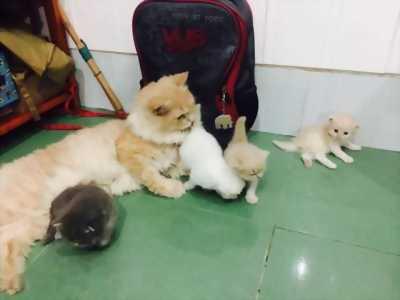 Đàn mèo ALD thuần chủng hai tháng tuổi TPHCM