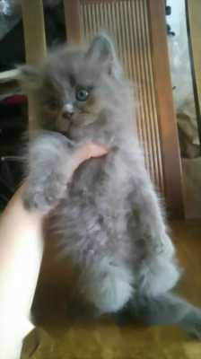 Mèo Anh lông dài hai tháng tuổi