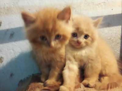 Cần bán mèo ALD lai 34