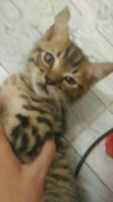 Cần bán mèo Bengal lai ALD