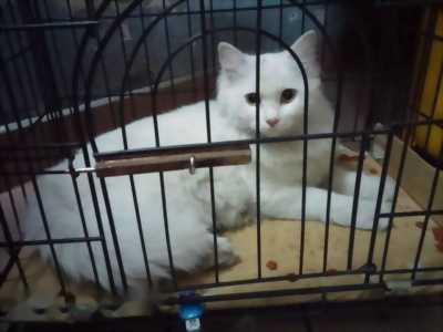Bán mèo Anh lông dài thuần chủng