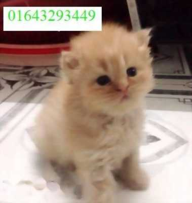 Cần bán mèo ALD
