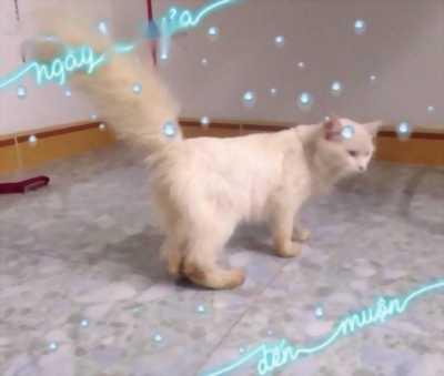 Bán bé mèo Anh lông dài cái tơ