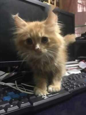Mình cần tìm chủ mới cho 03 bé mèo Anh lông dài