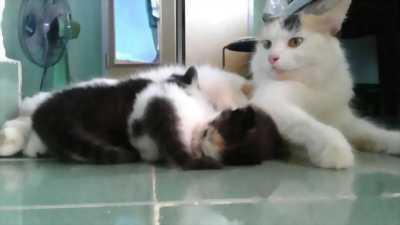 Bán mèo lai ALD