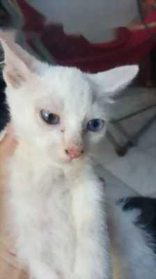 Cần bán mèo mẹ + mèo con ALD x 34
