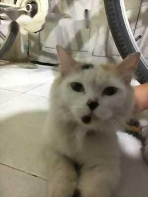 Mèo Anh lông dài tam thể