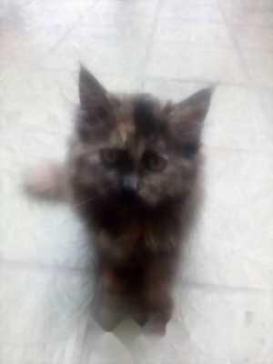 Bán mèo Anh lông dài 3 tháng