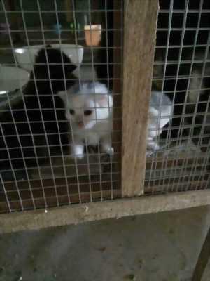 Bán mèo ALD+ mèo Ba Tư gần hai tháng tuổi