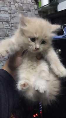 Bán 3 bé mèo ALD